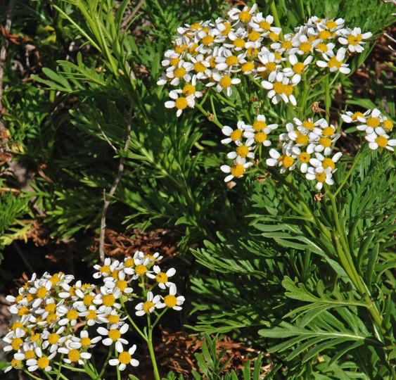 Tanacetum ferulaceum