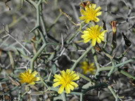 Launaea arborescens
