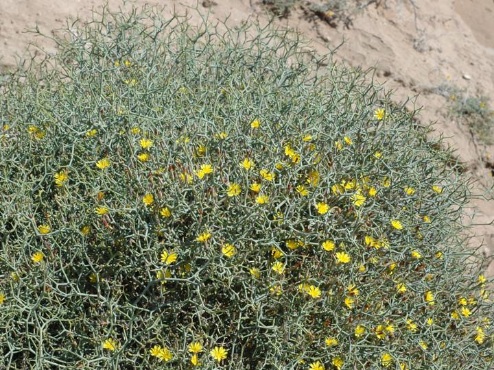 Launaea arborescens