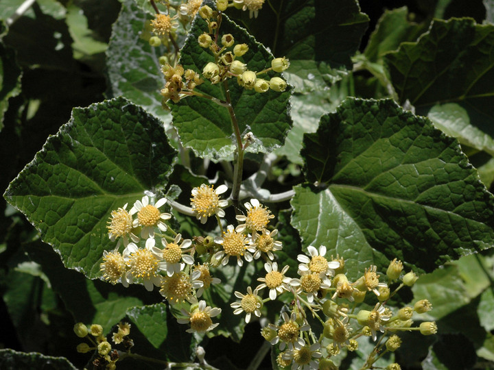 Pericallis appendiculata