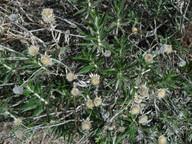 Carlina salicifolia
