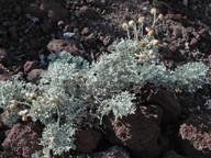 Artemisia reptans