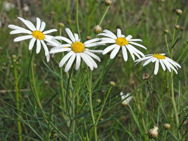 Argyranthemum gracile