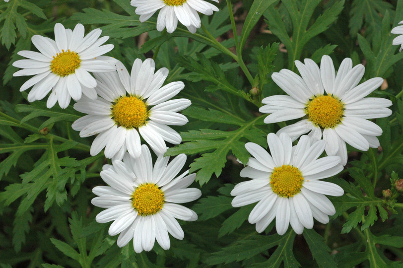 Argyranthemum broussonetii