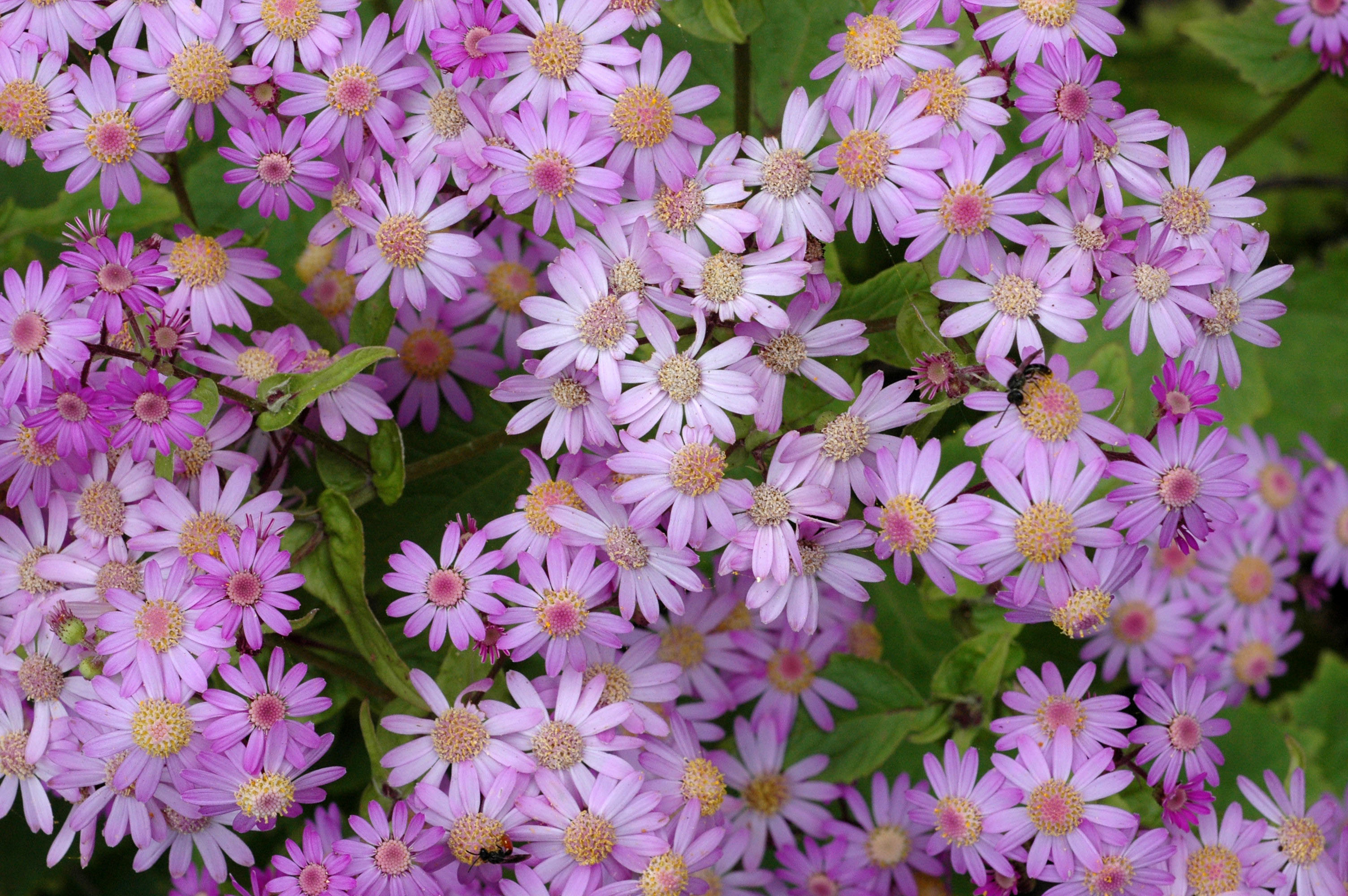Pericallis steetzii