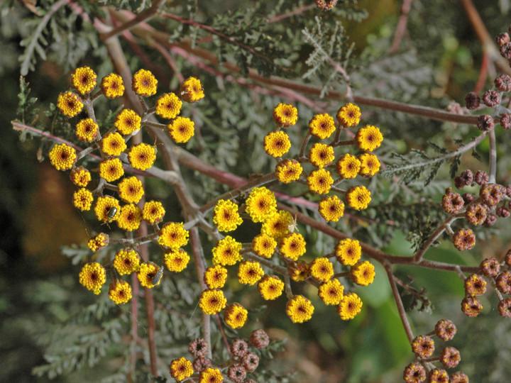 Gonospermum fruticosum