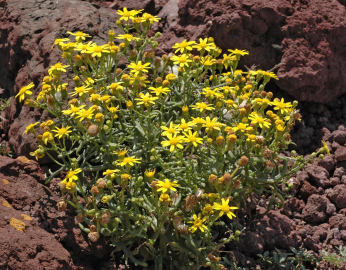 Senecio glaucus ssp. coronopifolius