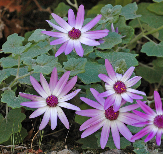 Pericallis lanata