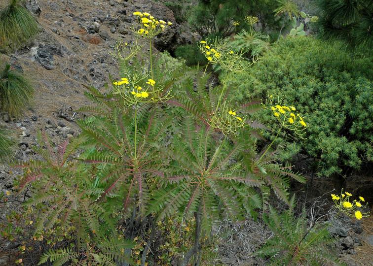 Sonchus canariensis