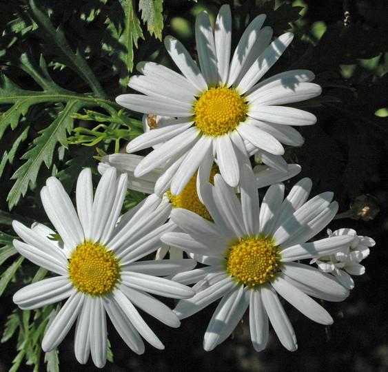Argyranthemum broussonetii