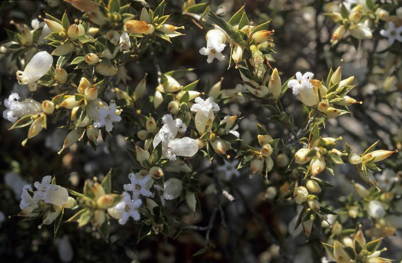 Astroloma xerophyllum