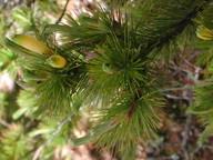 Astroloma pinifolium