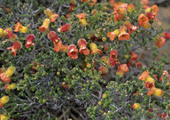 Balaustion microphyllum