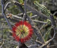 Beaufortia orbifolia
