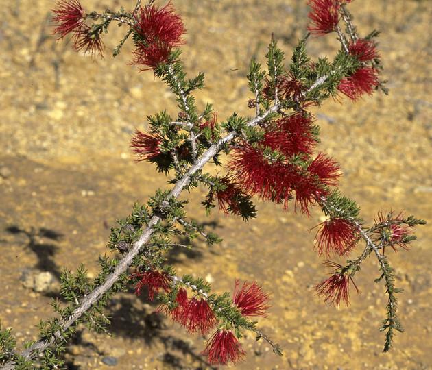 Beaufortia heterophylla