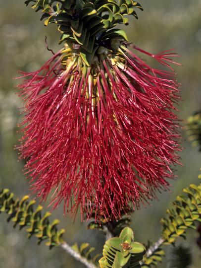 Beaufortia decussata