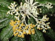 Bedfordia arborescens