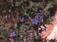 Lithospermum diffusum