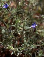 Lithospermum fruticosum