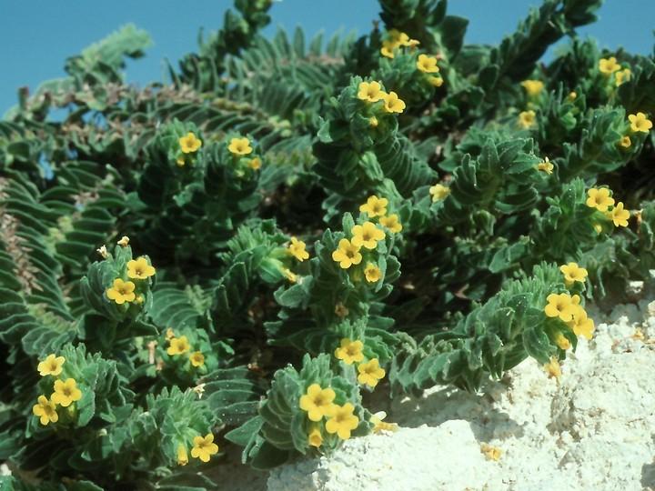 Alkanna orientalis