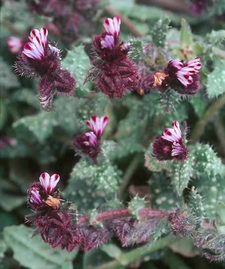 Anchusa variegata