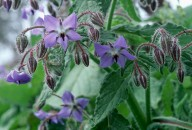 Borago officinalis