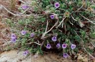 Lithodora hispidula