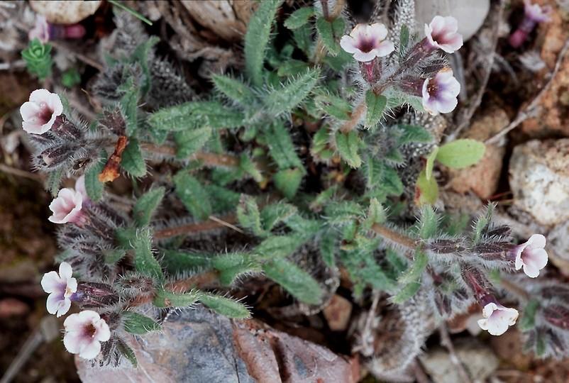Alkanna tinctoria ssp. tinctoria