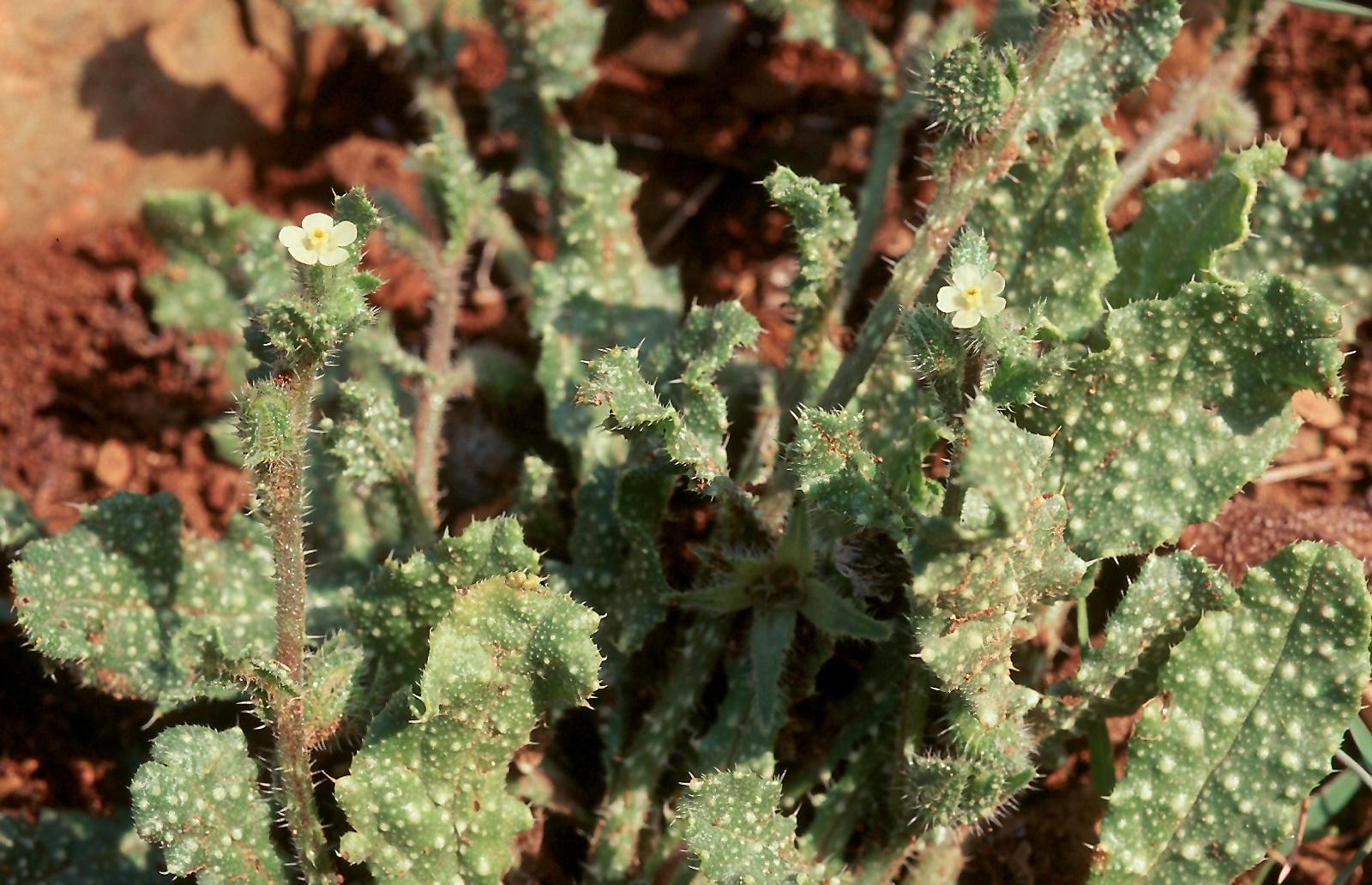 Anchusa aegyptica