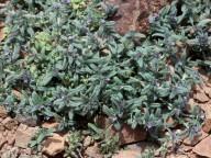 Lithospermum arvense