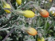 Onosma fruticosa