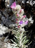 Echium albicans