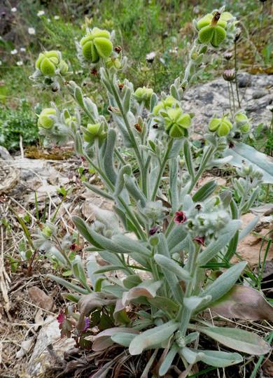 Cynoglossum creticum
