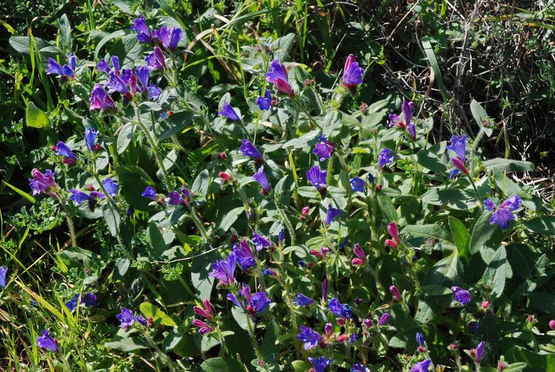 Echium lancerottense