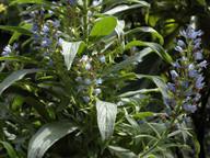 Echium callithyrsum