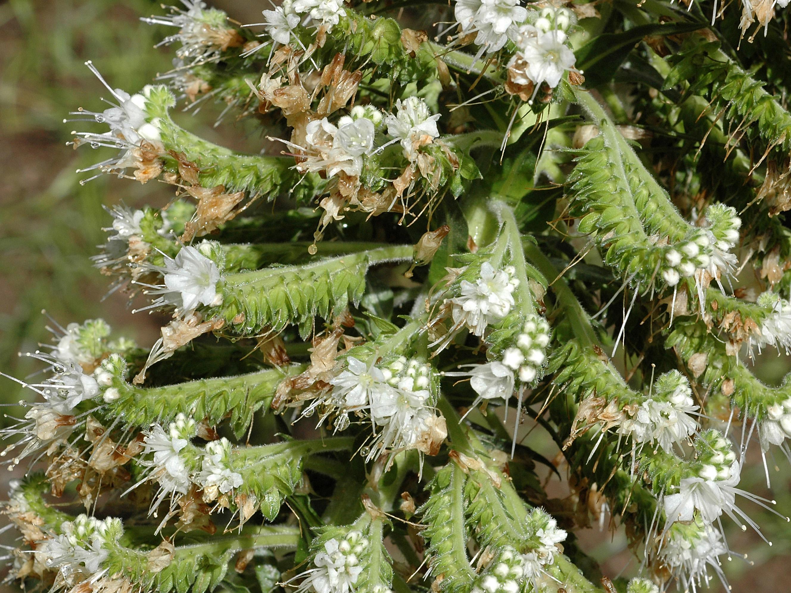 Echium simplex