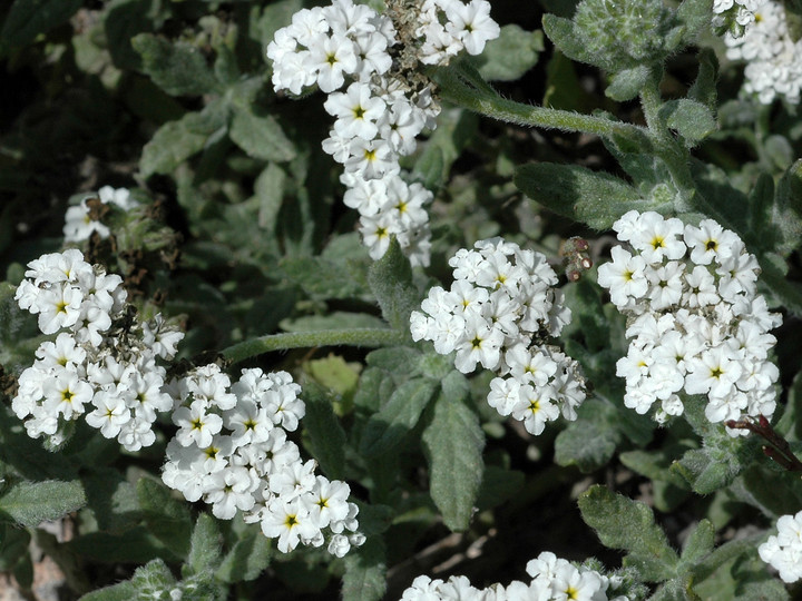 Heliotropium ramosissimum