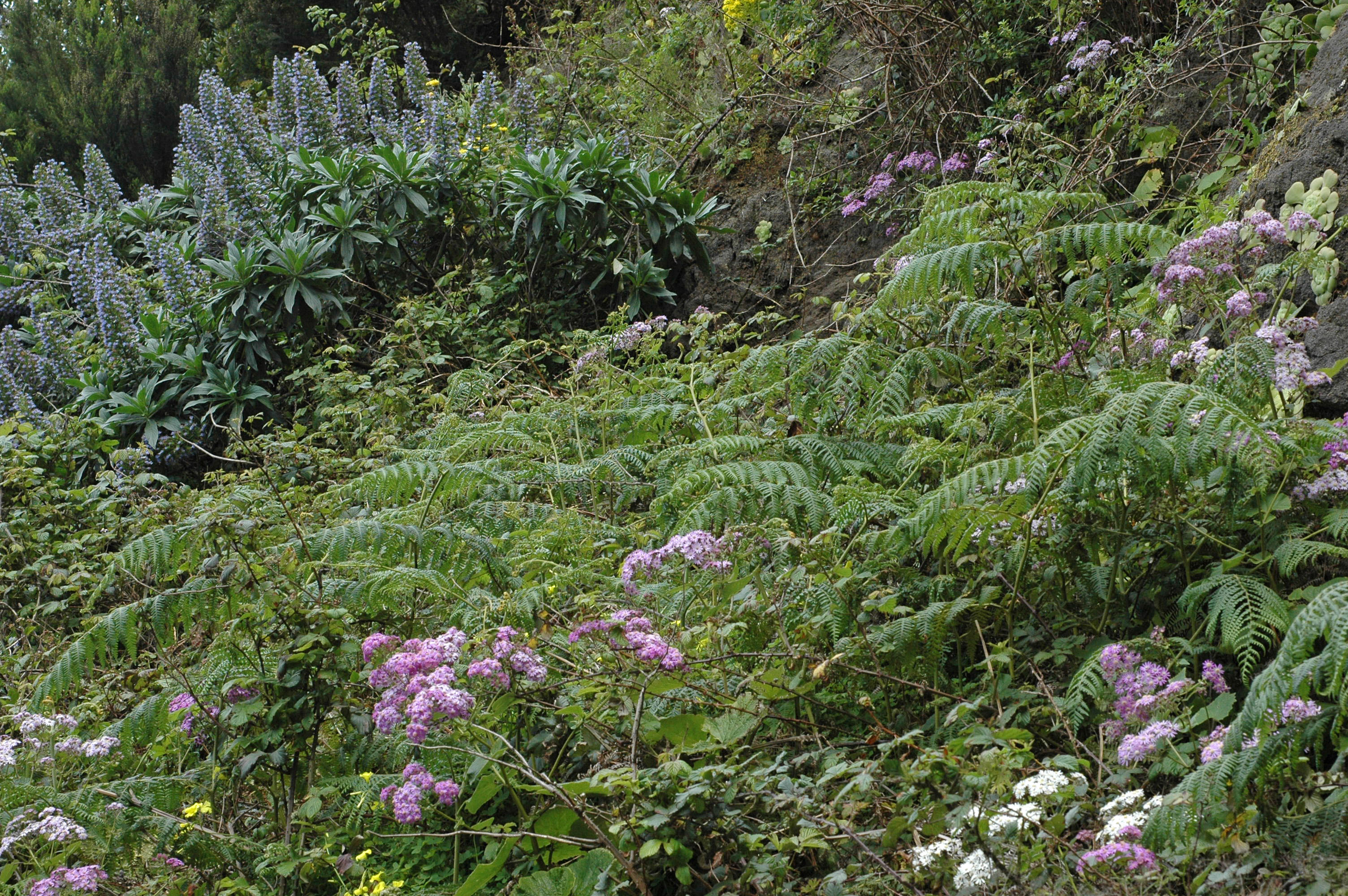 Echium acanthocarpum