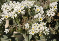 Heliotropium ramosissimum