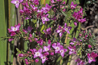 Boronia sp.