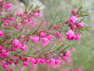 Boronia heterophylla
