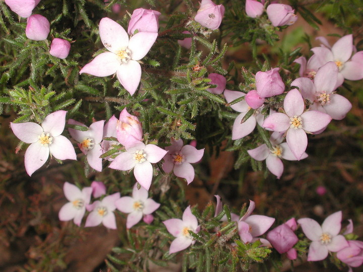 Boronia pilosa