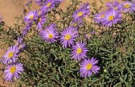 Brachyscome latisquamea