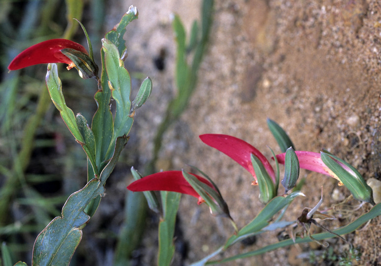 Brachysema aphyllum