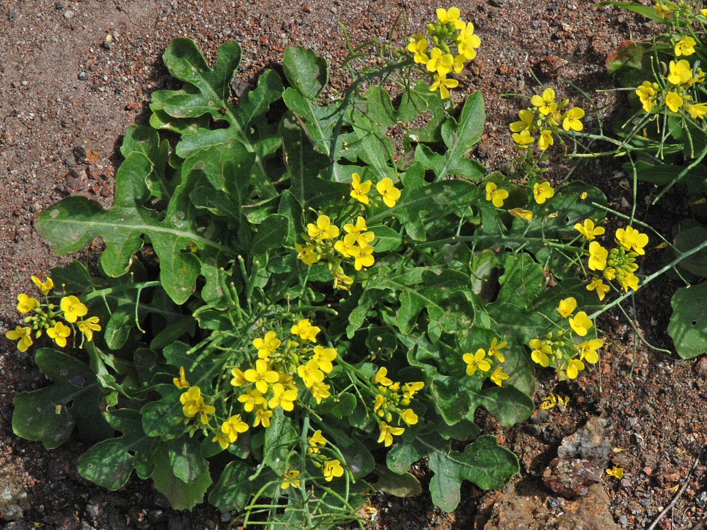 Erucastrum varium ssp. cardaminoides