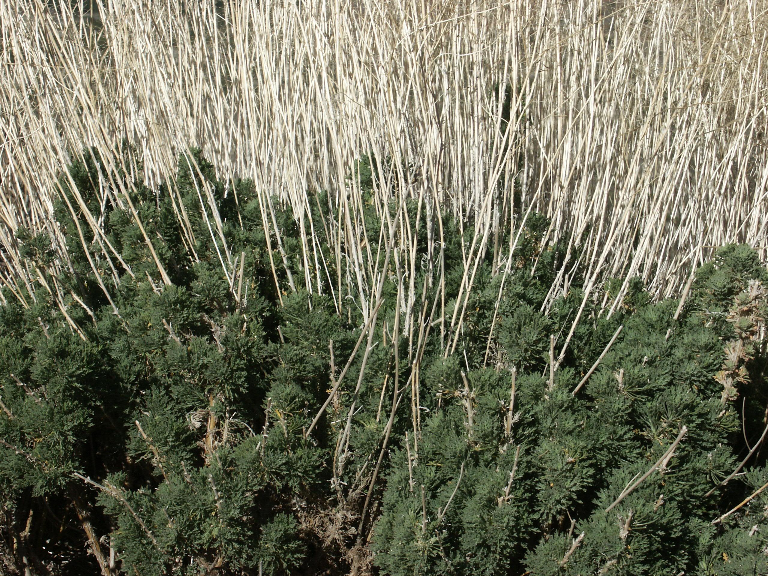 Descurainia bourgaeana