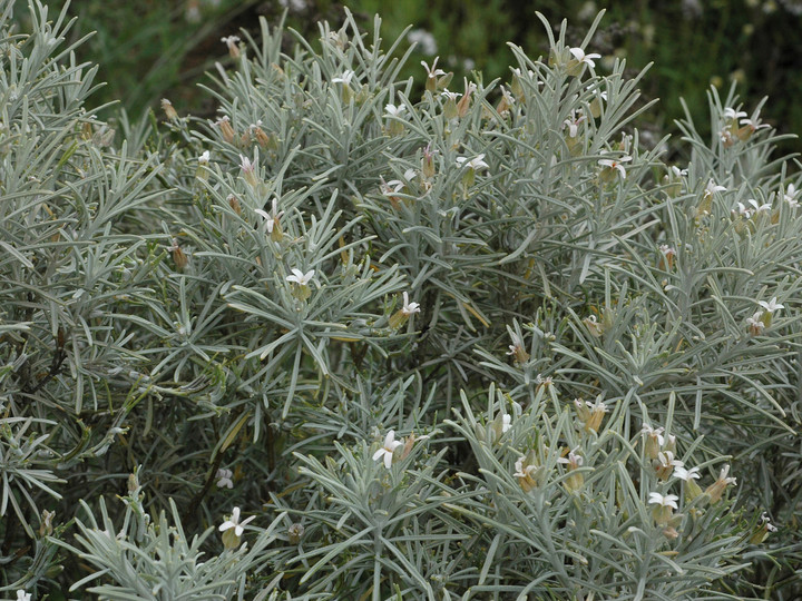 Parolinia ornata