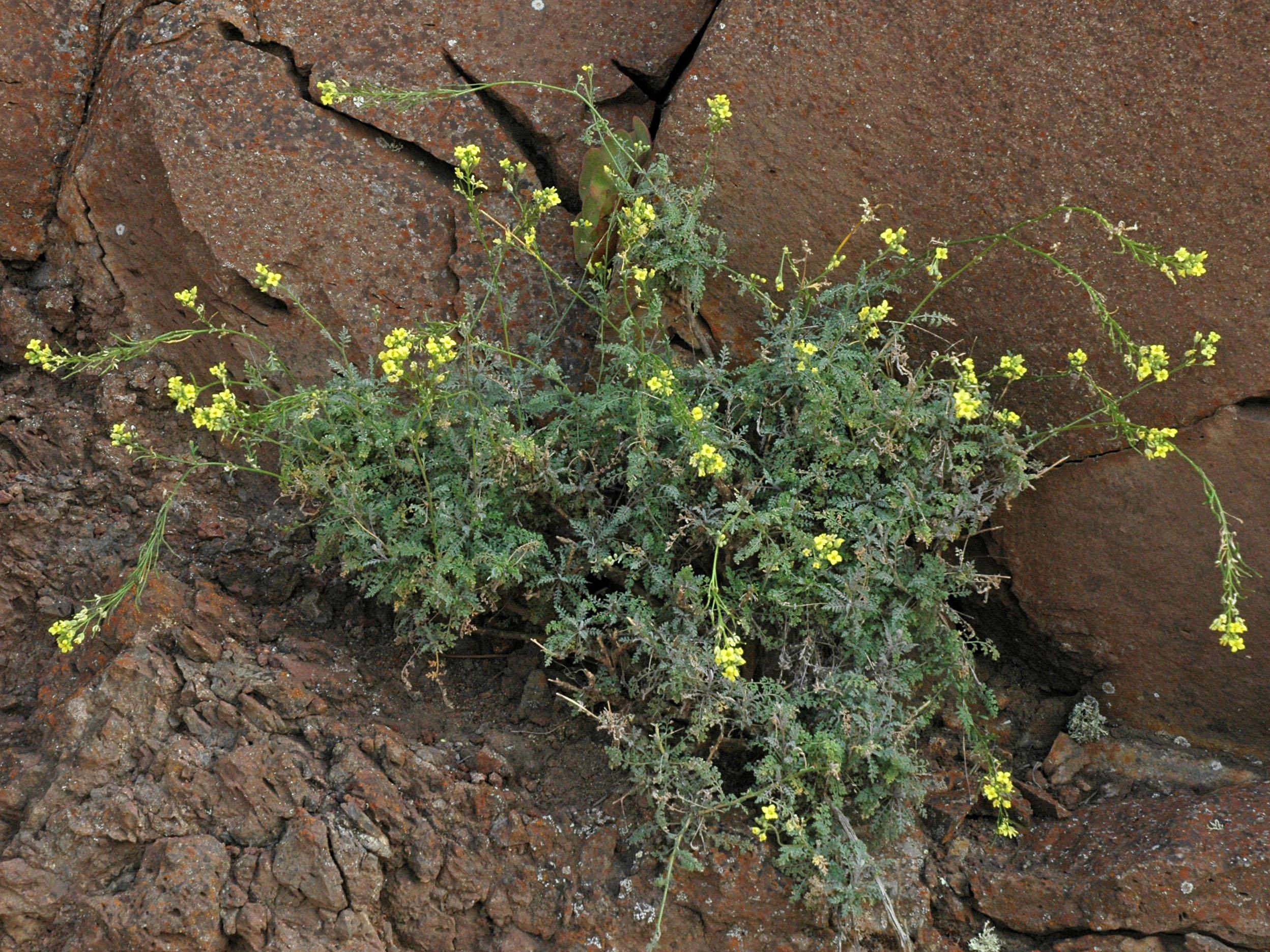 Descurainia millefolium