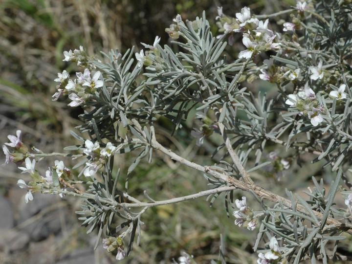 Parolinia schizogynoides