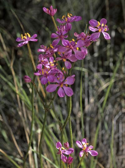 Burchardia rosea